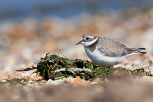 Teenager「Ringed Plover - juvenile on shingle beach, Norfolk」:スマホ壁紙(9)