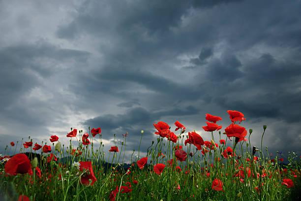 poppy field in cloudy day:スマホ壁紙(壁紙.com)