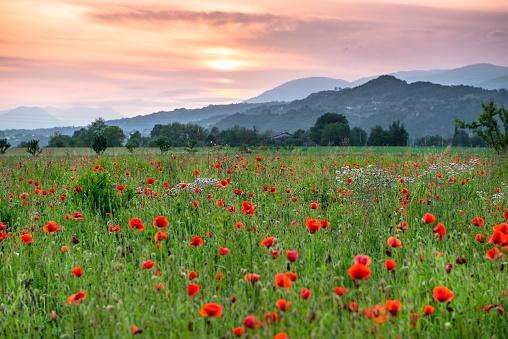 Wide Shot「poppy field at sunset over the hills of Marostica」:スマホ壁紙(4)