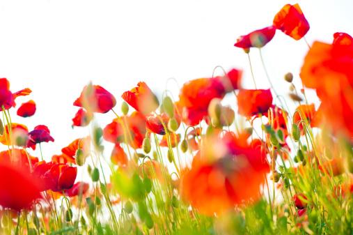 花畑「ポピーフィールドのクローズアップ」:スマホ壁紙(12)