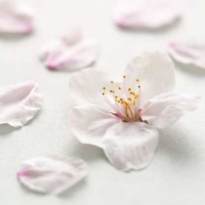 Cherry Blossom「Cherry flowers on white background, close up」:スマホ壁紙(0)