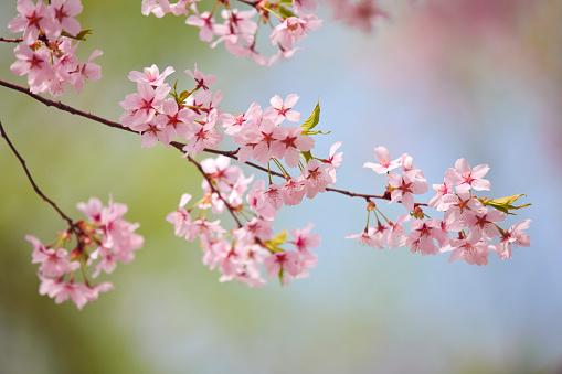 Cherry Blossom「桜の花」:スマホ壁紙(3)