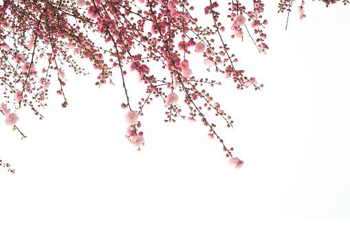 桜「桜の花」:スマホ壁紙(8)