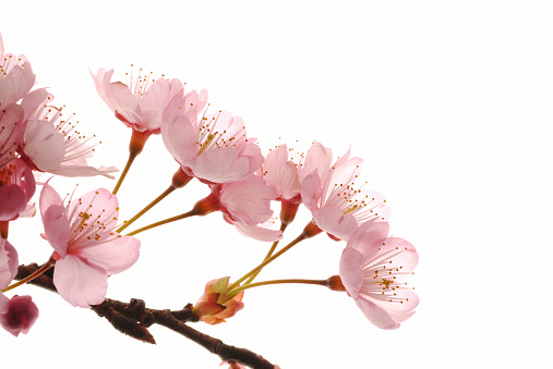 桜「Cherry flowers, close up, white background」:スマホ壁紙(14)
