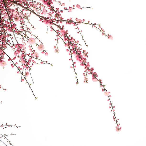 Cherry  flower:スマホ壁紙(壁紙.com)
