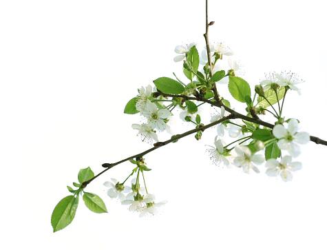 Cherry Blossom「桜の花」:スマホ壁紙(16)