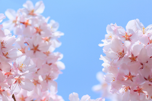桜「Cherry flowers on branch, close up, blue background」:スマホ壁紙(11)