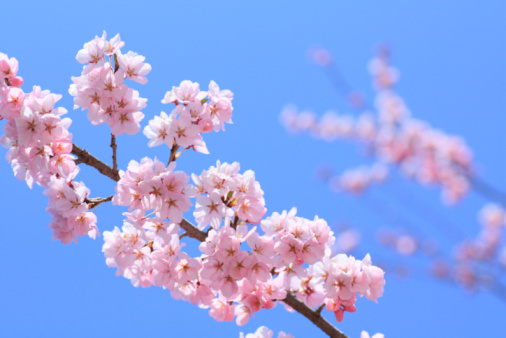 Cherry Blossom「Cherry flowers on branch, close up, blue background, differential focus」:スマホ壁紙(3)