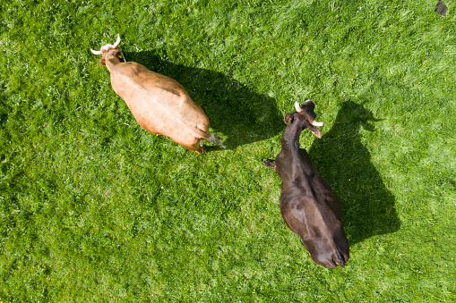Pasture「Top view of two cows on meadow」:スマホ壁紙(9)