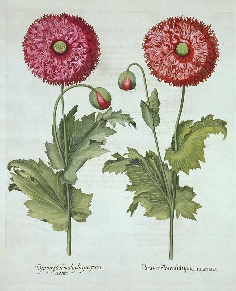 Basil「Poppies」:写真・画像(4)[壁紙.com]