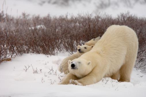 Bear Cub「Canada,Churchill, Polar Bear (Ursus maritimus)with two cubs,stretching」:スマホ壁紙(14)
