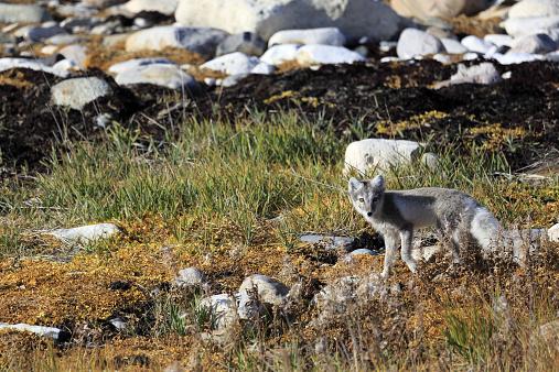 Arctic Fox「An arctic fox on arctic tundra」:スマホ壁紙(3)