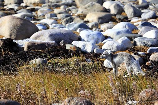 Arctic Fox「An arctic fox on arctic tundra」:スマホ壁紙(7)