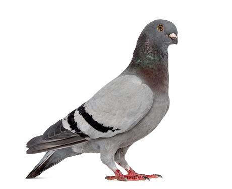 Belgium「Homing pigeon isolated on white」:スマホ壁紙(18)
