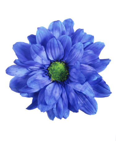 Blossom「Blue chrysanthemum」:スマホ壁紙(0)