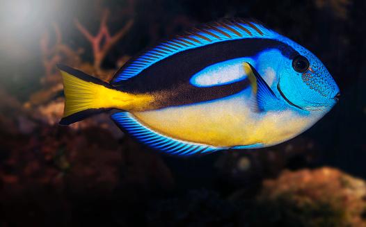 Algae「Blue Tang Fish Tropical Fish」:スマホ壁紙(15)