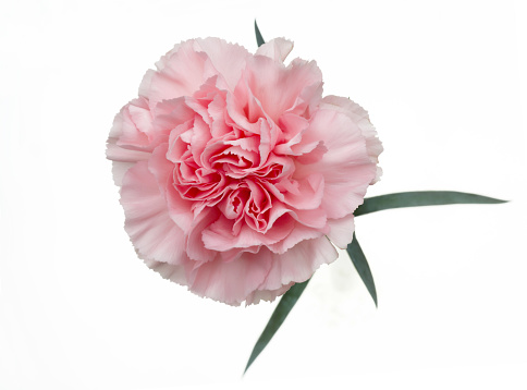 Pale Pink「Fragrant pale pink carnation on white.」:スマホ壁紙(12)