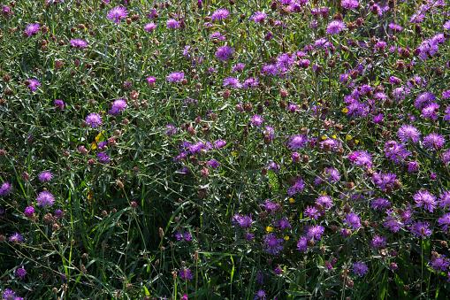 North Brabant「Brown Knapweed, flowering plants」:スマホ壁紙(9)