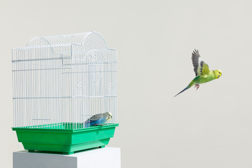 Pets「Budgies escaping their cage」:スマホ壁紙(8)