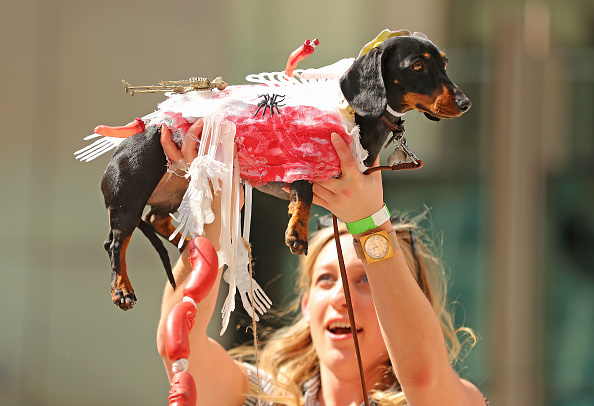 Annual Event「Annual Dachshund Race Celebrates Start Of Oktoberfest In Australia」:写真・画像(1)[壁紙.com]