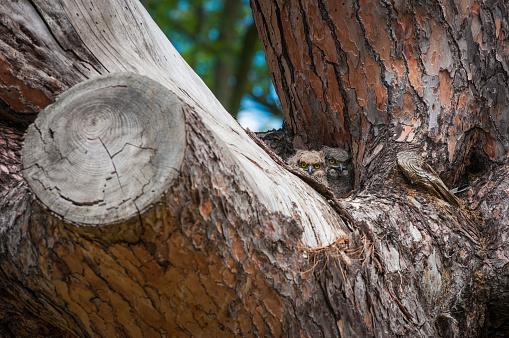 カメラ目線「古い松の木の赤ちゃんフクロウ」:スマホ壁紙(1)