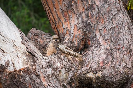 カメラ目線「古い松の木の赤ちゃんフクロウ」:スマホ壁紙(2)