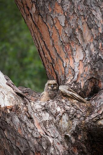 カメラ目線「古い松の木の赤ちゃんフクロウ」:スマホ壁紙(0)