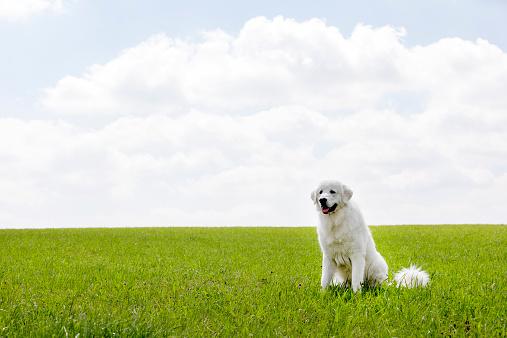 Maremma Sheepdog「Maremma sheepdog」:スマホ壁紙(3)