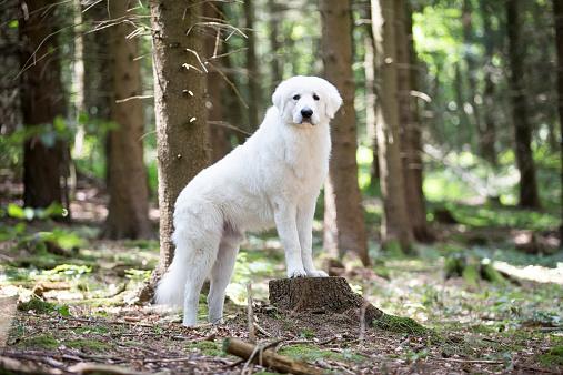 Maremma Sheepdog「Maremma sheepdog」:スマホ壁紙(8)