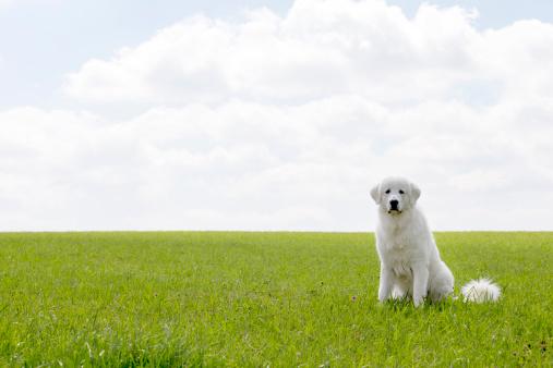 Maremma Sheepdog「Maremma sheepdog」:スマホ壁紙(4)