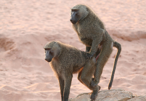 "Animals In The Wild「""Sex on the Beach"" Olive Baboons」:スマホ壁紙(18)"