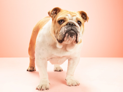 Domestic Animals「English bulldog, against pink background」:スマホ壁紙(8)