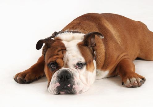 Three Quarter Length「English bulldog on white background」:スマホ壁紙(15)