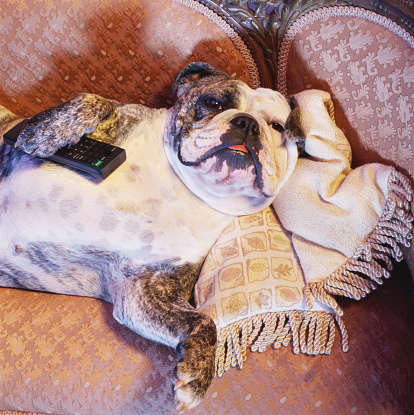 Watching TV「English bulldog lying on sofa with television remote control」:スマホ壁紙(18)