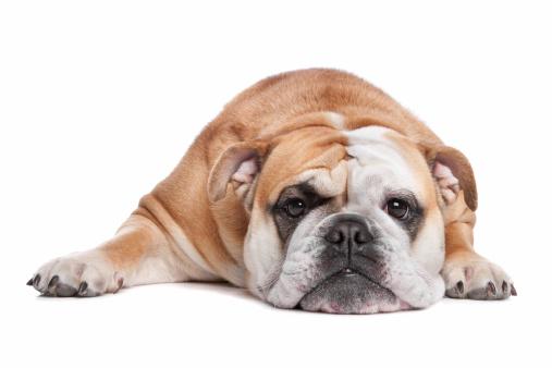 Full Length「English bulldog」:スマホ壁紙(3)