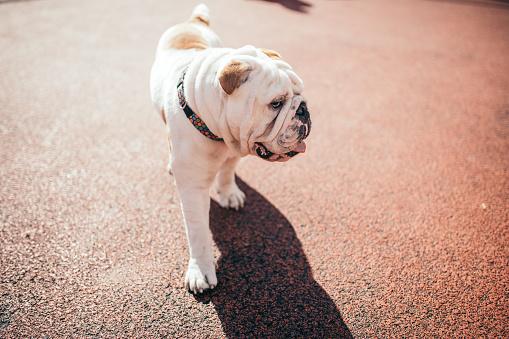 Fashion Model「English bulldog in the field」:スマホ壁紙(13)