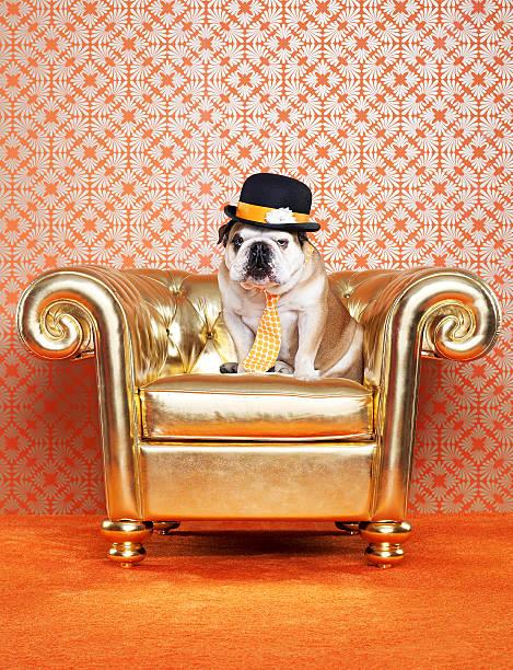 English Bulldog (Canis lupus familiaris) on chair:スマホ壁紙(壁紙.com)