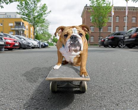 Skating「English bulldog sitting on skateboard in street」:スマホ壁紙(0)