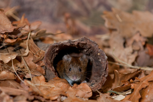 Animal Eye「Bank vole (Clethrionomys glareolus) adult at nest entrance, Norfolk, England, UK」:スマホ壁紙(14)