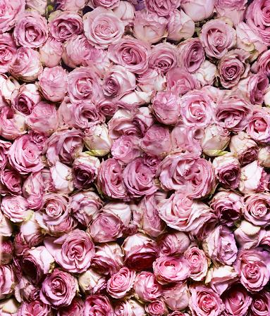 Floral「Pink Rose in full frame」:スマホ壁紙(13)