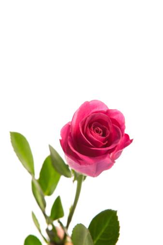 薔薇「Pink rose in bloom with stalk」:スマホ壁紙(9)
