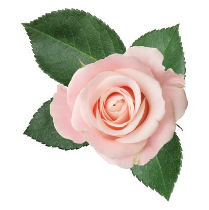 薔薇「ピンクローズ絶縁」:スマホ壁紙(12)