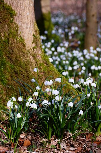 The Nature Conservancy「Spring snowflake (Leucojum vernum), sumptuous flowering in deciduous forest」:スマホ壁紙(16)