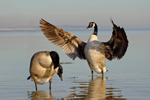 Three Quarter Length「Two canada geese, Branta canadensis, standing in water」:スマホ壁紙(2)