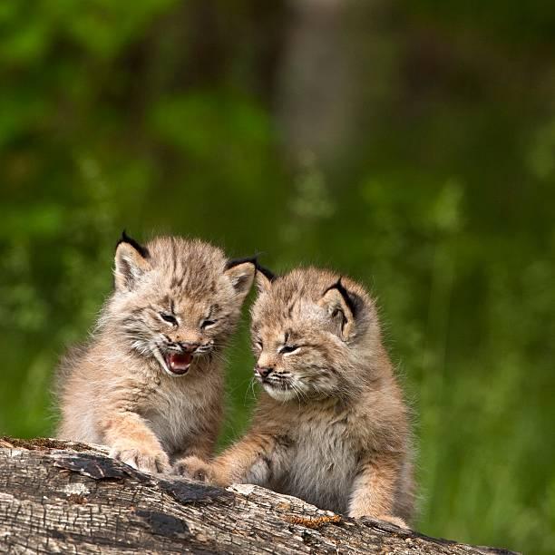 Two canada lynx (lynx canadensis) kittens playing on a log:スマホ壁紙(壁紙.com)