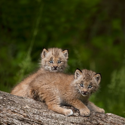 Kitten「Two canada lynx (lynx canadensis) kittens playing on a log」:スマホ壁紙(12)