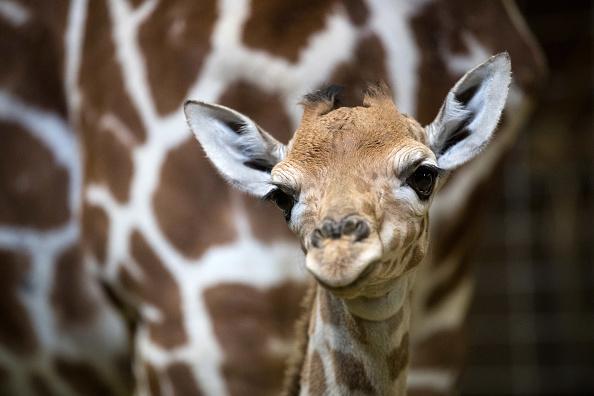 Giraffe「One-Day Old Giraffe Debuts At Noah's Ark Farm」:写真・画像(5)[壁紙.com]