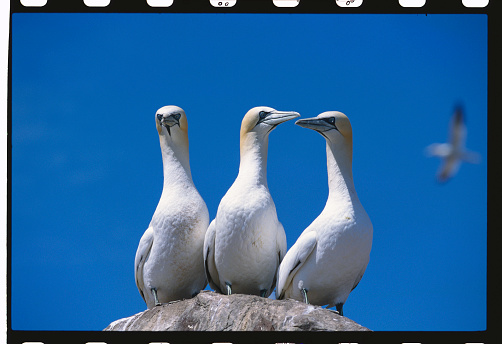 East Lothian「Three Gannets」:スマホ壁紙(2)