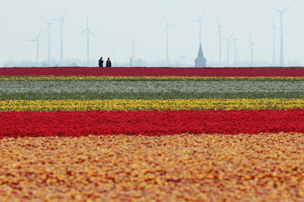 チューリップ「Tulip Fields Blossom Near Magdeburg」:写真・画像(4)[壁紙.com]