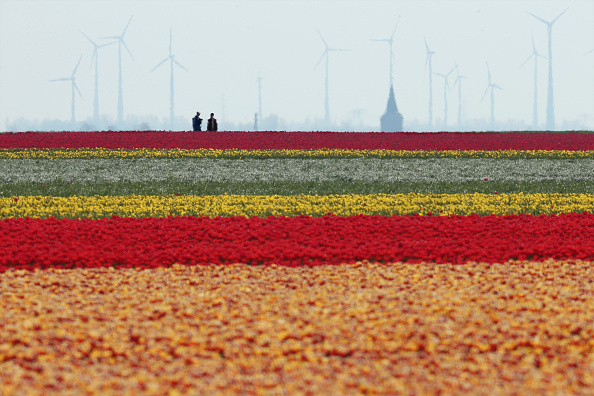 Agricultural Field「Tulip Fields Blossom Near Magdeburg」:写真・画像(10)[壁紙.com]